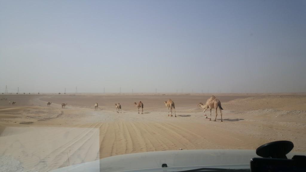 Kör försiktigt, kameler på vägen