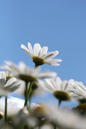 prästkrage blomma