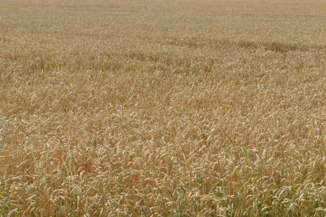 En kort tid är fälten så vackra, nu är de redan skördade häromkring.