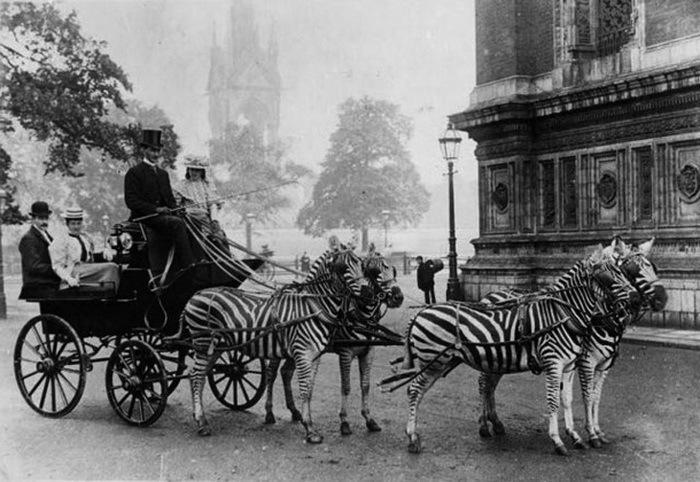 Har någon förvandlat hästarna till zebror? En zebravagn måste kunna få åskådarna att tolka vad de ser olika, men det bygger ändå på en verklig och märklig erfarenhet de haft?