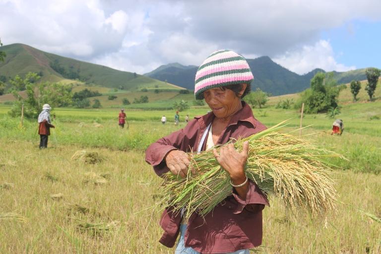 Hanie Ablona skördar ris som odlats genom utsäde som ACT Alliance distribuerat. Barangay Bulak Norte, Batad. Oktober 2014. Foto: Edward Santos.